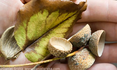 Leaves and acorns I collected on a recent autumn walk ©Daniel Sroka