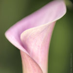 an abstract of a calla lily