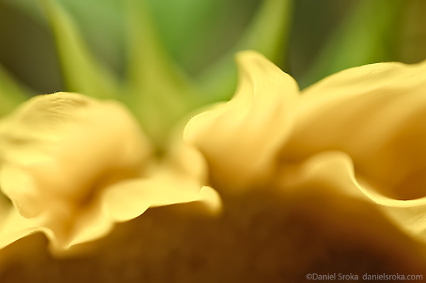An abstract macro photograph of a sunflower. Fine art nature photograph by Daniel Sroka.