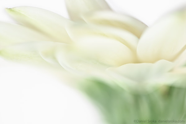 An abstract photograph of a gerber daisy. Fine art nature photograph by Daniel Sroka.