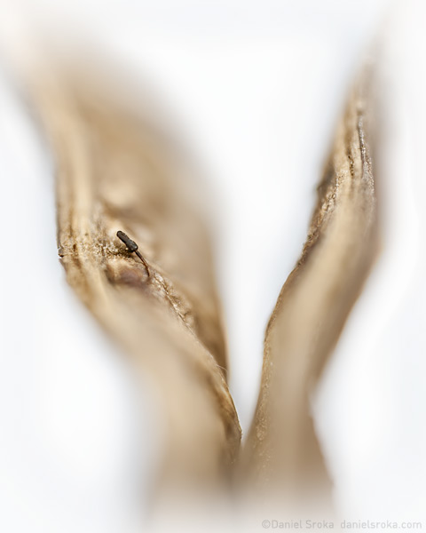An abstract photograph of a seed pod from a texas ebony tree, extending up like hands in prayer. Created during my artist-in-residence at the Miraval Resort in Arizona. Fine art nature photograph by Daniel Sroka.
