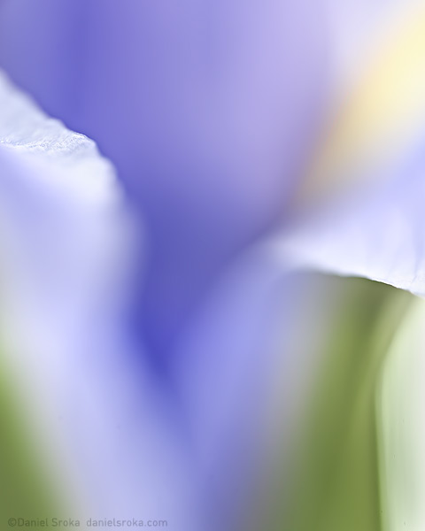 An abstract macro photograph of an iris. Fine art nature photograph by Daniel Sroka.