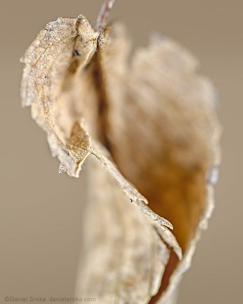 A photograph of a dried, autumn leaf, Fine art nature photograph by Daniel Sroka.