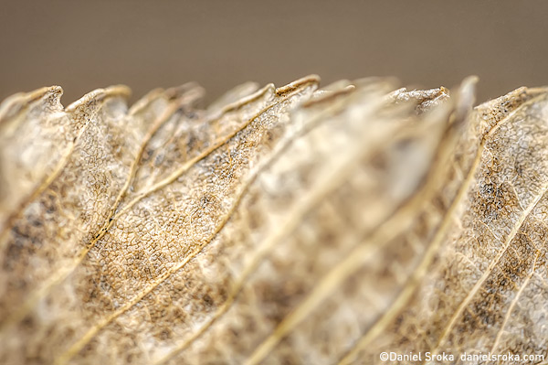 An abstract photograph of an autumn leaf, examining the patterns along its saw-tooth edge. Fine art nature photograph by Daniel Sroka.