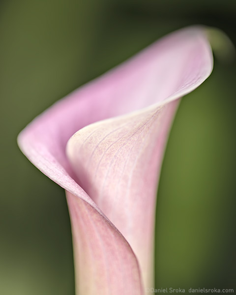 An abstract of a calla lily. Fine art nature photograph by Daniel Sroka.