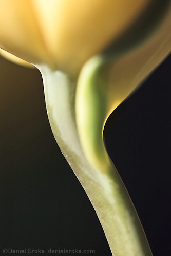 An abstract photograph of a tulip. Fine art nature photograph by Daniel Sroka.