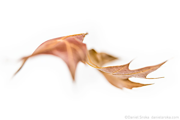 An abstract of a leaf, as if floating gracefully in the air. Fine art nature photograph by Daniel Sroka.