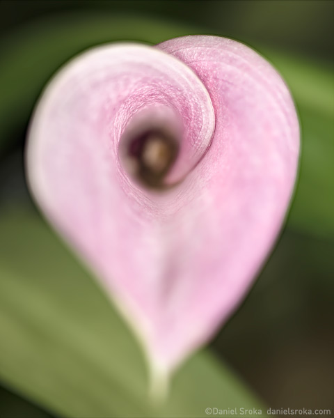 An abstract photograph of a cala lily. Fine art nature photograph by Daniel Sroka.