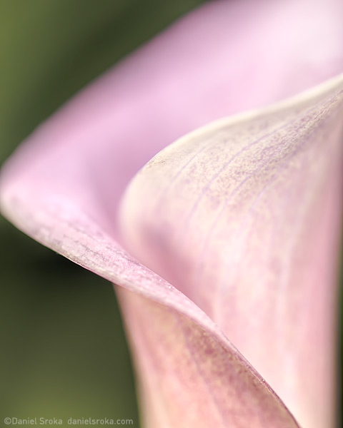 An abstract of a cala lily. Fine art nature photograph by Daniel Sroka.
