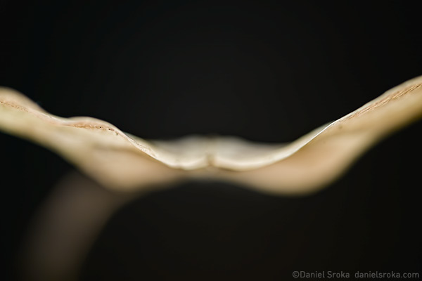 An abstract macro photograph of a maple seed looking like wings in flight. Fine art nature photograph by Daniel Sroka.