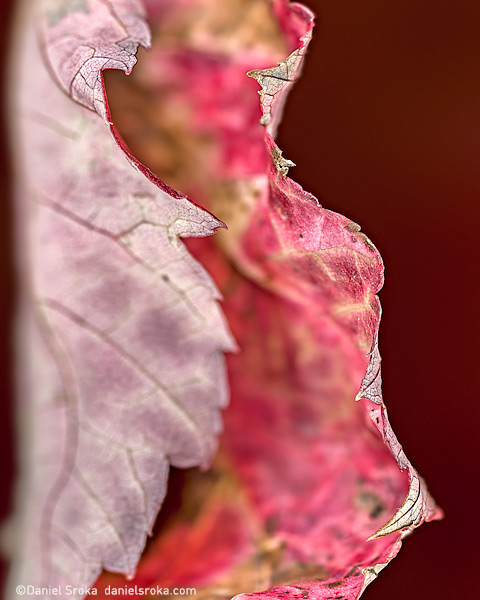 An abstract macro photograph of a leaf. Fine art nature photograph by Daniel Sroka.