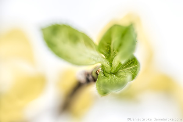 An abstract photograph of forsythia leaves. Fine art nature photograph by Daniel Sroka.