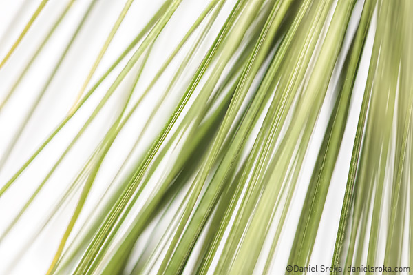 An abstract photograph of pine needles. Fine art nature photograph by Daniel Sroka.