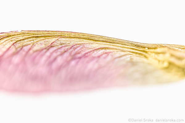 An abstract photograph of a maple tree seed pod. Fine art nature photograph by Daniel Sroka.
