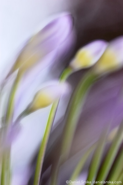 An abstract photograph of an african lily (agapanthus) in bloom. Fine art nature photograph by Daniel Sroka.