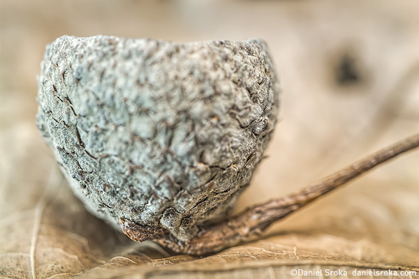 A macro photograph of an acorn cap. Fine art nature photograph by Daniel Sroka.
