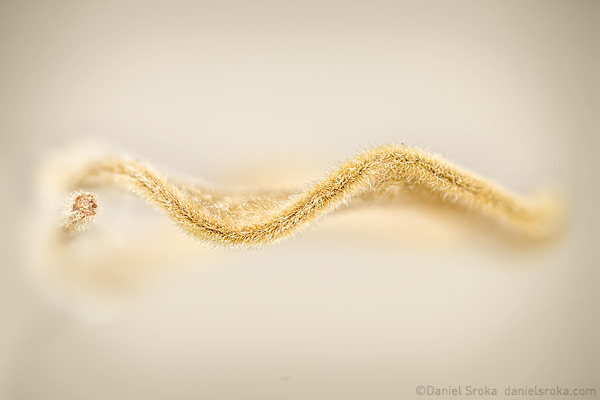 An abstract photograph of locust tree seed pod. Fine art nature photograph by Daniel Sroka.