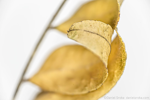 An abstract photograph of the leaves from a locust tree. Fine art nature photograph by Daniel Sroka.