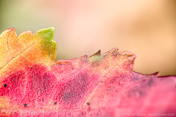 An abstract photograph of an autumn leaf. Fine art nature photograph by Daniel Sroka.