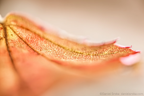 An abstract of a fallen leaf. Fine art nature photograph by Daniel Sroka.