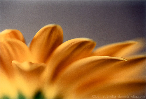 An abstract macro photograph of a gerbera daisy. Fine art nature photograph by Daniel Sroka.