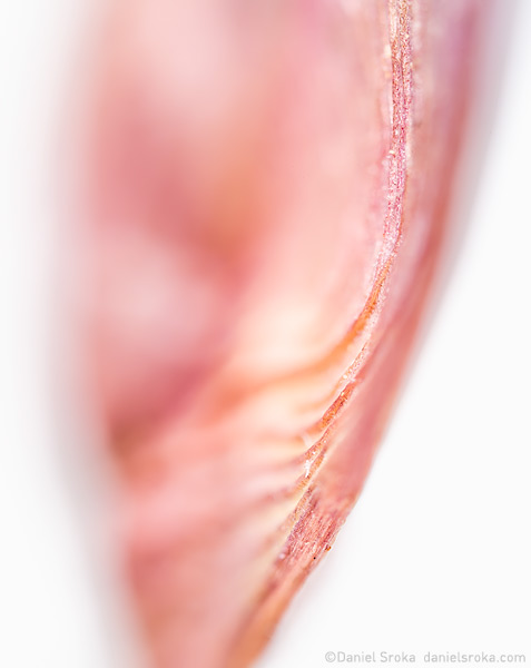 An abstract of a maple tree seed. Fine art nature photograph by Daniel Sroka.
