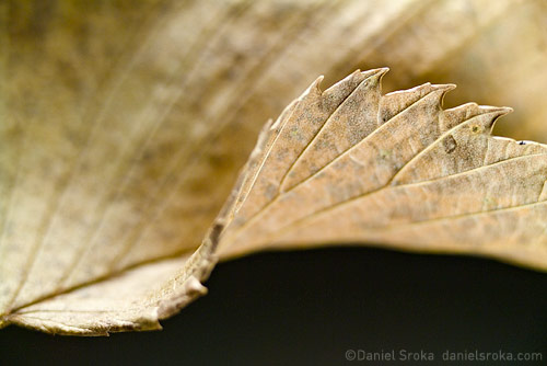 An abstract macro photograph of a dried leaf. Fine art nature photograph by Daniel Sroka.