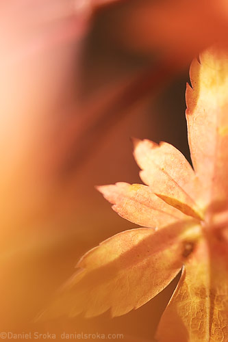 A macro photograph of a Japanese maple leaf. Fine art nature photograph by Daniel Sroka.