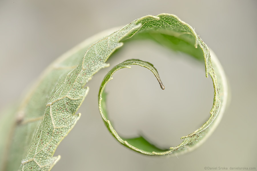 An abstract photograph of a curling leaf. Fine art nature photograph by Daniel Sroka.