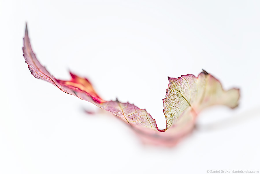Forthright: An abstract of a leaf by Daniel Sroka